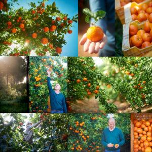 Clementine soft fruit citrus Spain Harvest Farming